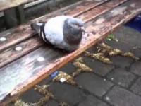 W Anglii nawet gołąb ma królewskie maniery