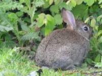 zoom na dzikiego królika