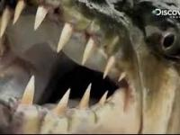 Goliath Tiger Fish | Fish Documentary | UsA