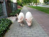 Kot na spacerze ze świńską rodziną