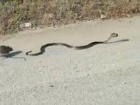 Szczur ratuje swoje małe przed atakiem węża