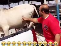 Krowa kopie faceta