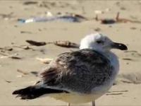 Stara mewa stoi na plaży