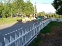 Stado owiec, które pomyliło kierunek