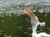 Pelikan zajada się żywym gołąbkiem