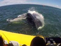 Płetwal błękitny, który miał wielką ochotę na turystów