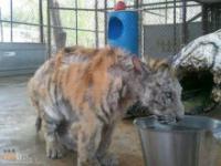 Młoda tygrysica z objezdnego cyrku
