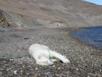 Rosyjscy naukowcy zastrzelili niedźwiedzia polarnego w Norwegii - Skandynawiainfo.pl