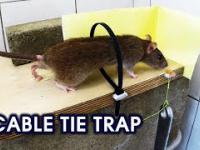 Trytytka kontra Szczur