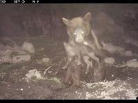 Wyjątkowe nagranie jak czarny niedźwiedź atakuje małego warchlaka