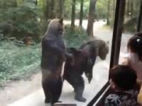 niedźwiedzie proszą o jedzenie u turystów