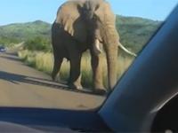 Słoń kontra samochód z turystami