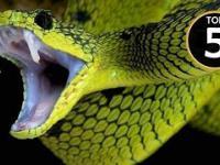 Top 5 Najbardziej jadowitych węży świata