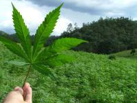 Dania wykonała mały krok w kierunku medycznej marihuany - Skandynawiainfo.pl
