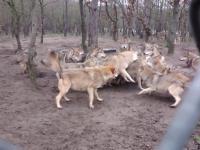 Wataha atakuje najsłabsze ogniwo w hierarchii - wilka Omega