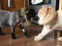 Nieoczekiwany skutek ostrzyżenia kotów