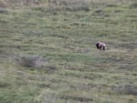 Niedźwiedź grizzly turla się z górki