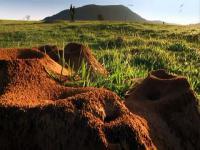 Ogromna kolonia mrówek