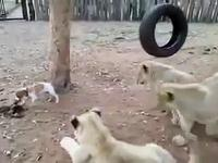 Młode lwy kontra mały piesek