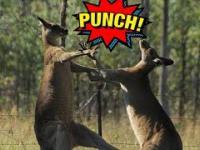 Pasjonująca Walka Kangurów