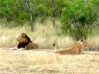 najbardziej leniwy lew