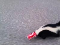 Skunks z puszką po coli na głowie