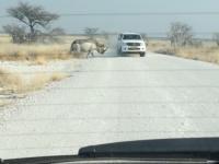 Nosorożec atakuje samochód z turystami