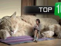 Top 10 Największych kotów domowych SpinkaFun