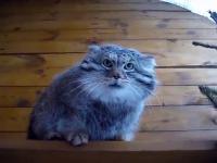 Manul - ruski kot stepowy
