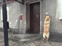 Pies, który sam dzwoni dzwonkiem i otwiera drzwi