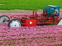 Harvesting and Topping Tulips Holland Heavy Equipment Machines Amazing Agriculture Latest Technology