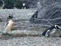 Walka dwóch pingwinów o samicę