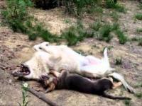 Wilk vs szczenię owczarka niemieckiego