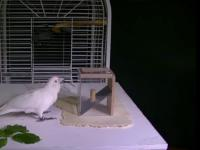 Kakadu tworzy narzędzia z różnych materiałów