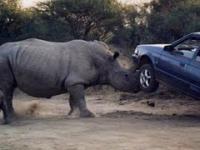 Nosorożec zaatakował turystów