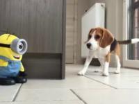 Minionek bawi się z psami