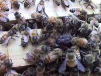 Pszczoły brutalnie atakują pająka