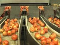 Sortowanie i pakowanie jabłek