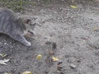 Kot bawi się z myszą, a w tym samym czacie kura...