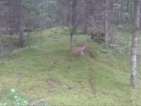Czego się nie robi z dzikim lisem