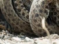 Iquana ucieka przed węzaami