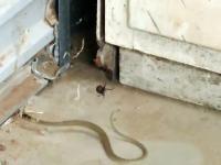 Wąż wpadł w pajęczą sieć