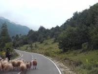 Atak wściekłej owcy