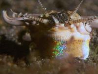 Ten przerażający robal porywa ryby z dna oceanicznego