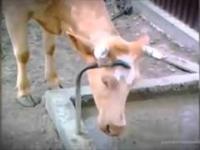 Krowy to bardzo mądre zwierzęta!