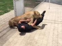 Reakcja lwicy na widok opiekuna