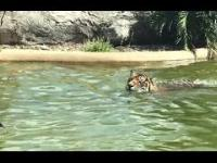 Tygrys kontra odważna kaczka