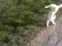 Kot chodzi na przednich łapach!