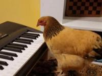 Kura która gra na keyboardzie