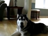 Śpiewający pies